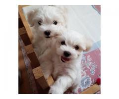 Adorable cachorros malteses para su aprobación.
