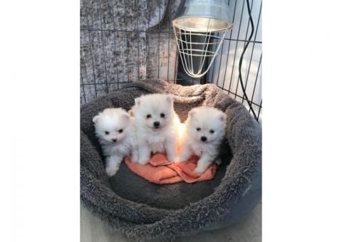 Cachorros de Pomerania disponibles para casas nuevas