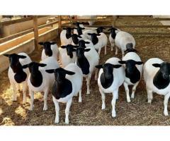Blackhead Sheep Rams and Ewes para la venta